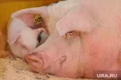 Сельское хозяйство. Животные. Челябинск, сельское хозяйство, свинья, поросенок, животноводство