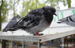Предвыборная агитация на улицах Екатеринбурга, голуби, городские птицы