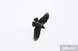 Вороны, летающие около жилого комплекса