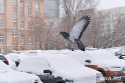 Снегопад. Челябинск., голубь