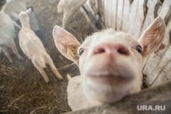 Пресс-тур на Козью ферму. Деревня Корзуновская, Свердловская область, коза