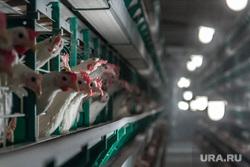 Птицефабрика. Магнитогорск, птицефабрика, курицы, клетки