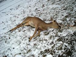 Лоси, косули, волки, лисы, косуля, млекопитающие, лесные животные, дикие животные, убитая косуля, дикая природа