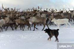 Быт Ямальских оленеводов. , собаки, олени, север, стадо оленей
