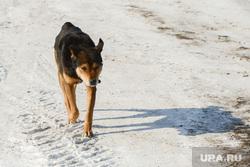 Ввод в эксплуатацию газопровода в деревнях Пашнино-1 и Пашнино-2 Красноармейского района Челябинской области, бездомные животные, дворняга, пес, бездомная собака, собака