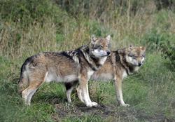 Лоси, косули, волки, лисы, волк, хищник, лесные животные, дикие животные, дикая природа