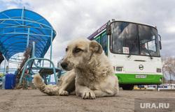 Клипарт. Разное. Магнитогорск, остановка, дворняга, бродячая собака, автобус, общественный транспорт, собака
