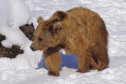 Открытая лицензия от 09.10.2017. Медведи, медведь, хищник, бурый медведь, дикий зверь