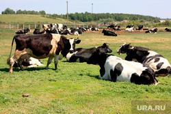 Коровы  Курганская область, коровы, стадо