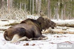 Клипарт depositphotos.com, лес, лось, млекопитающие, дикая природа