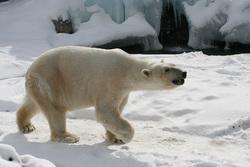 Открытая лицензия от 09.10.2017. Медведи, медведь, белый медведь, хищник, дикий зверь