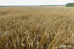 Дубровский и пшеница Челябинск, поле, пшеница, урожай, нива, колосья, уборочная страда