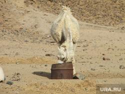 Египет, отдых туристов, верблюд, вода, пустыня