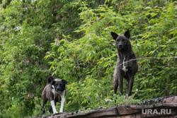 Бродячие собаки. Тюмень, собаки, бродячие собаки, дикая собака