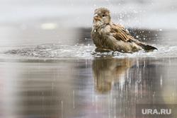 Животные и птицы. Екатеринбург, воробей, городские птицы, птица, купание в луже