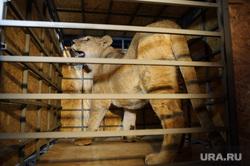 Львица Лола вылетает в Крым. Екатеринбург, зоопарк, клетка, дикие животные, львица лола