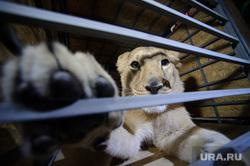Львица Лола вылетает в Крым. Екатеринбург, зоопарк, дикие животные, львица лола