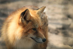 Лоси, косули, волки, лисы, лиса, хищник, лисица, лесные животные, дикие животные, дикая природа