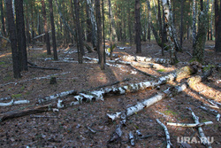 Осенняя природа, разное Курган, бурелом, поваленный лес, кетовский район