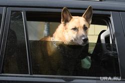 Животные и птицы. Екатеринбург, домашние любимцы, домашние питомцы, собака в машине