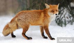 Клипарт depositphotos.com, лиса, лисица, хищник, дикая природа, дикие животные