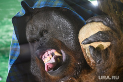 Орангутанг Захар в Екатеринбургском зоопарке, зоопарк, язык, обезьяна, животное, орангутанг, примат