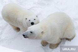 Белый медведь Челябинск, белый медведь, полярный медведь, ариша