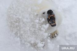 Белый медведь Челябинск, пасть, клыки, белый медведь, полярный медведь