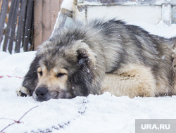 Собаки и дачи. Нижневартовск, собака, кавказская овчарка, сторожевая собака