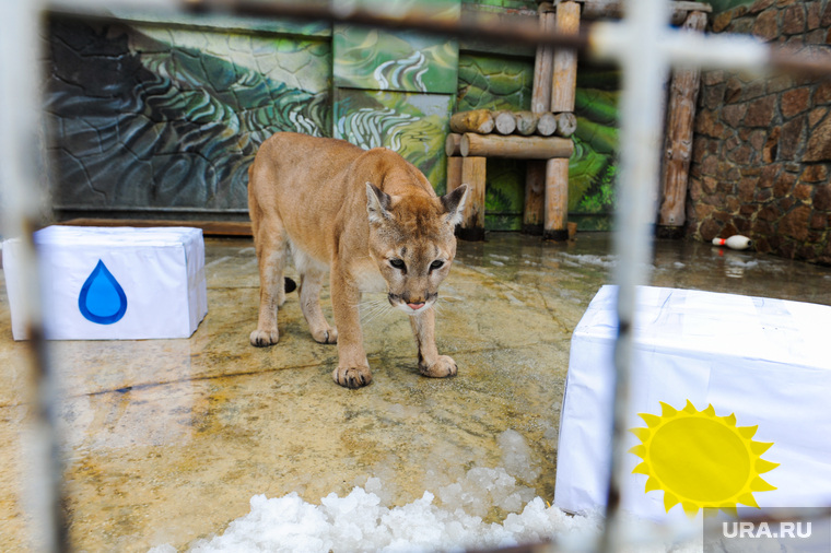 «Предсказание» погоды на лето пумой в Челябинском зоопарке. Челябинск