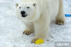 «Предсказание» погоды на лето белыми медведями в Челябинском зоопарке. Челябинск, белые медведи, зоопарк