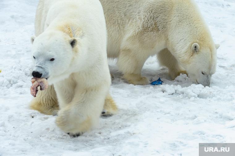 «Предсказание» погоды на лето белыми медведями в Челябинском зоопарке. Челябинск