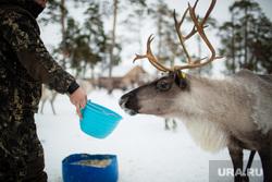 Ханты Сургутского района, семья Клима Кантерова. Лянтор, олени, кормление животных