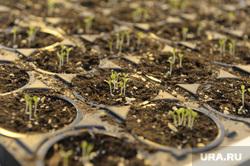 В деревне Нариманова высадили первую семечку, Тюмень, сельское хозяйство, зелень, рассада, побеги, растения