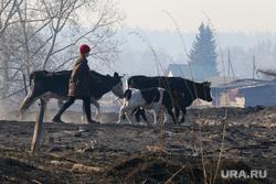 Лесные пожары. Курган, коровы, домашний скот