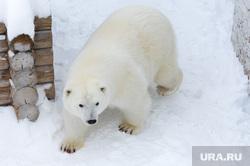 Белый медведь Челябинск, белый медведь, зоопарк, полярный медведь, ариша