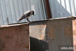Мусорные баки Курган, мусорные баки, ворона