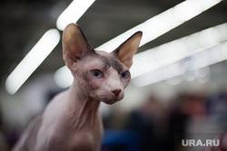 Выставка кошек. Пермь, выставка кошек, кошка сфинкс