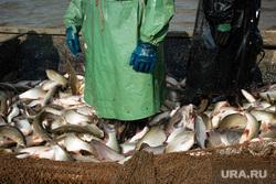 Добыча рыбы в Сургутском районе. Сургут, улов, рыба, язь
