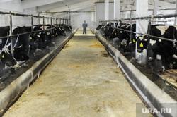 Рабочая поездка губернатора Дубровского в Чебаркульский и Уйский районы Челябинской области, коровы, ферма