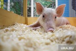 Зоопарк. Пермь, ферма, свинья, скот, скотоводство, животноводство, домашнее хозяйство