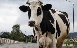 Митрополит Корнилий в Староуткинске. Свердловская область, проезжая часть, корова, домашний скот, сельская местность, дорога