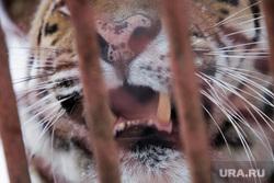 Зоопарк. Пермь, зоопарк, тигр, браконьерство, животные в клетке