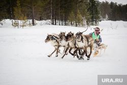 Национальный праздник «Слёт оленеводов, рыбаков и охотников» в деревне Русскинская, Сургутского района. , оленья упряжка, гонки на оленях