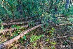 Рабочая поездка по городу. Екатеринбург, сосны, сосновые ветки, деревья, бревна, лес рубят, вырубка леса, дрова