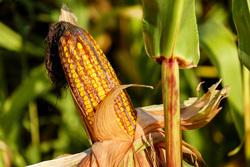 Клипарт. Pixabay. Екатеринбург, кукуруза, поле