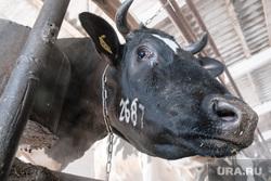 Визит врио губернатора в рабочий поселок Лебяжье. Курганская область, корова, животноводство
