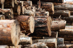 Незаконная вырубка леса. Свердловская область, поселок Рассоха, деревья, лес, вырубка леса, лесозаготовка, вырубка деревьев