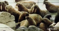 «Разговор с Дмитрием Кобылкиным». Прямая линия губернатора ЯНАО. Салехард, портрет, кобылкин дмитрий, моржи, северные животные