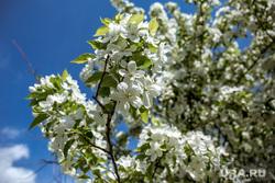 Участок набережной между улицами Куйбышева и Малышева. Екатеринбург, яблоня цветет, лето, солнце, яблоня, цветущая яблоня, весна, дерево